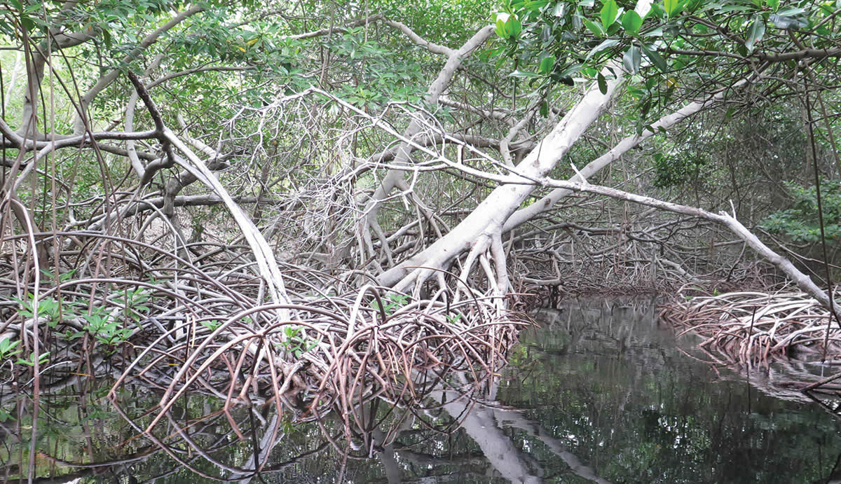 A dress for the Mangrove: The Enea goes out to the Carnival